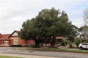 Olive Trees within Catherine McAuley Centre